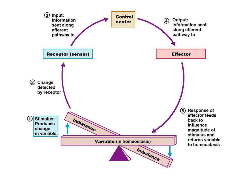 Homeostasis Positive Negative Feedback Mechanisms Anatomy