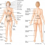 The Language of Anatomy: anatomical position and directional terms