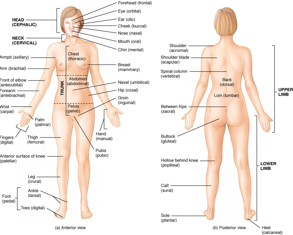 Anatomical Terms and Regions   CK-12 Foundation