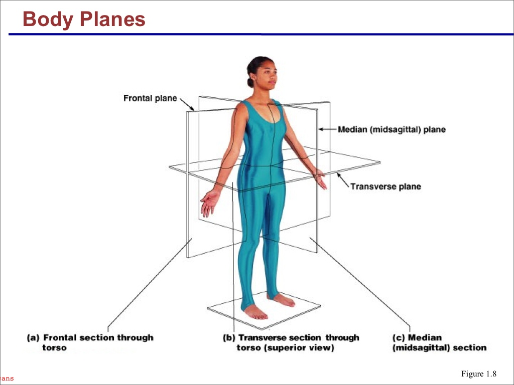 planes and sections of the human body