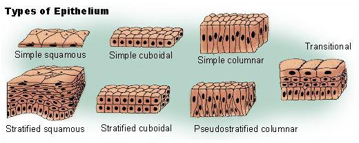 epithelium_tissue