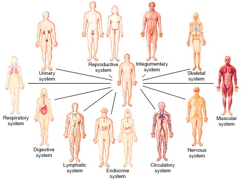 human body organ systems: an orientation : anatomy & physiology, Human Body