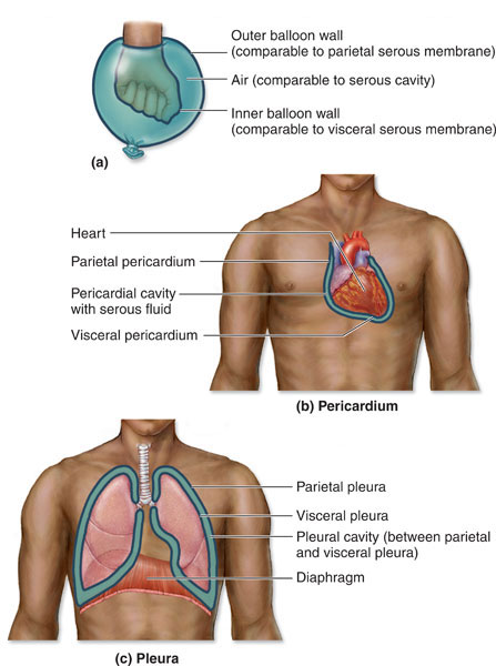 serous membrane pleural cavity body cavities and membranes anatomy & physiology