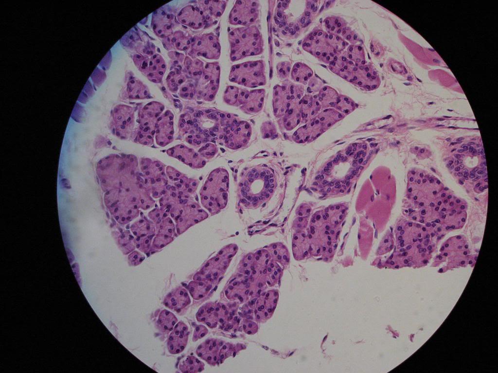 Stratified-Cuboidal-Epithelium