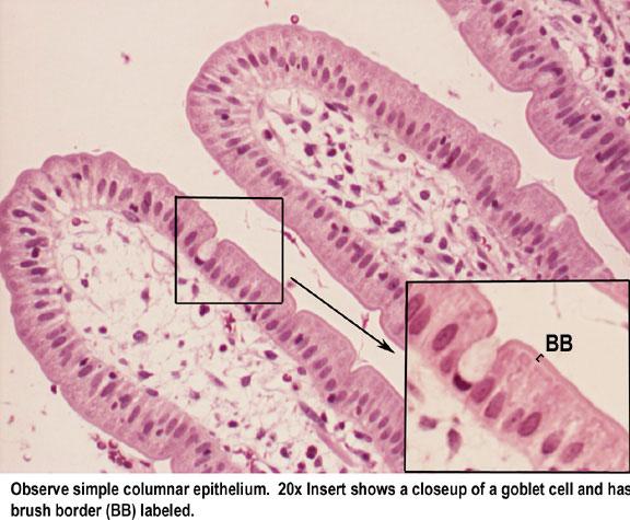 Glandular epithelium anatomy physiology image of a unicellular exocrine gland goblet cell ccuart Image collections