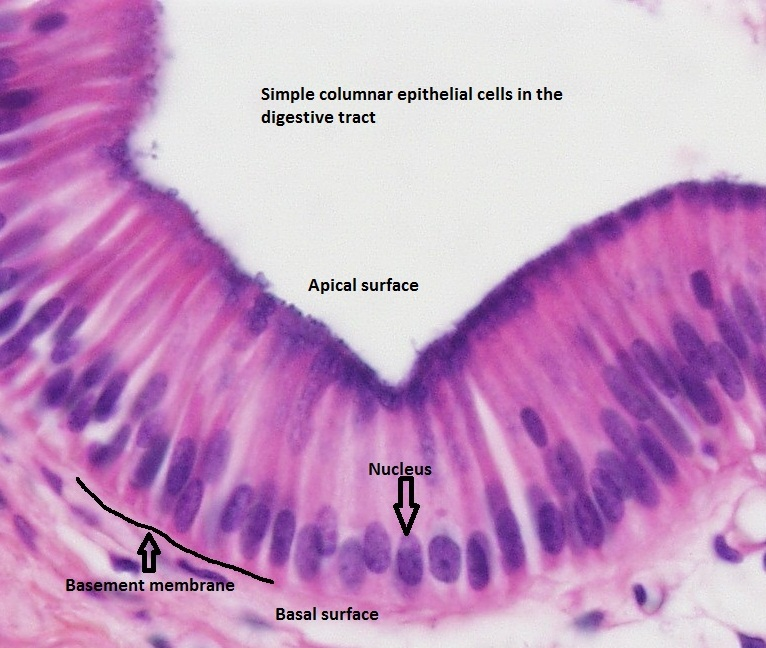 simple-columnar-epithelim