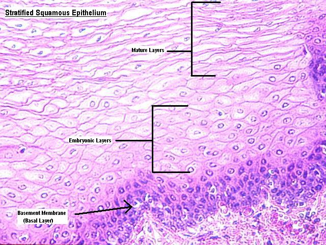 stratified_squamous_epithelium