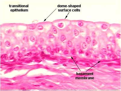 Epithelial Tissue : Anatomy & Physiology