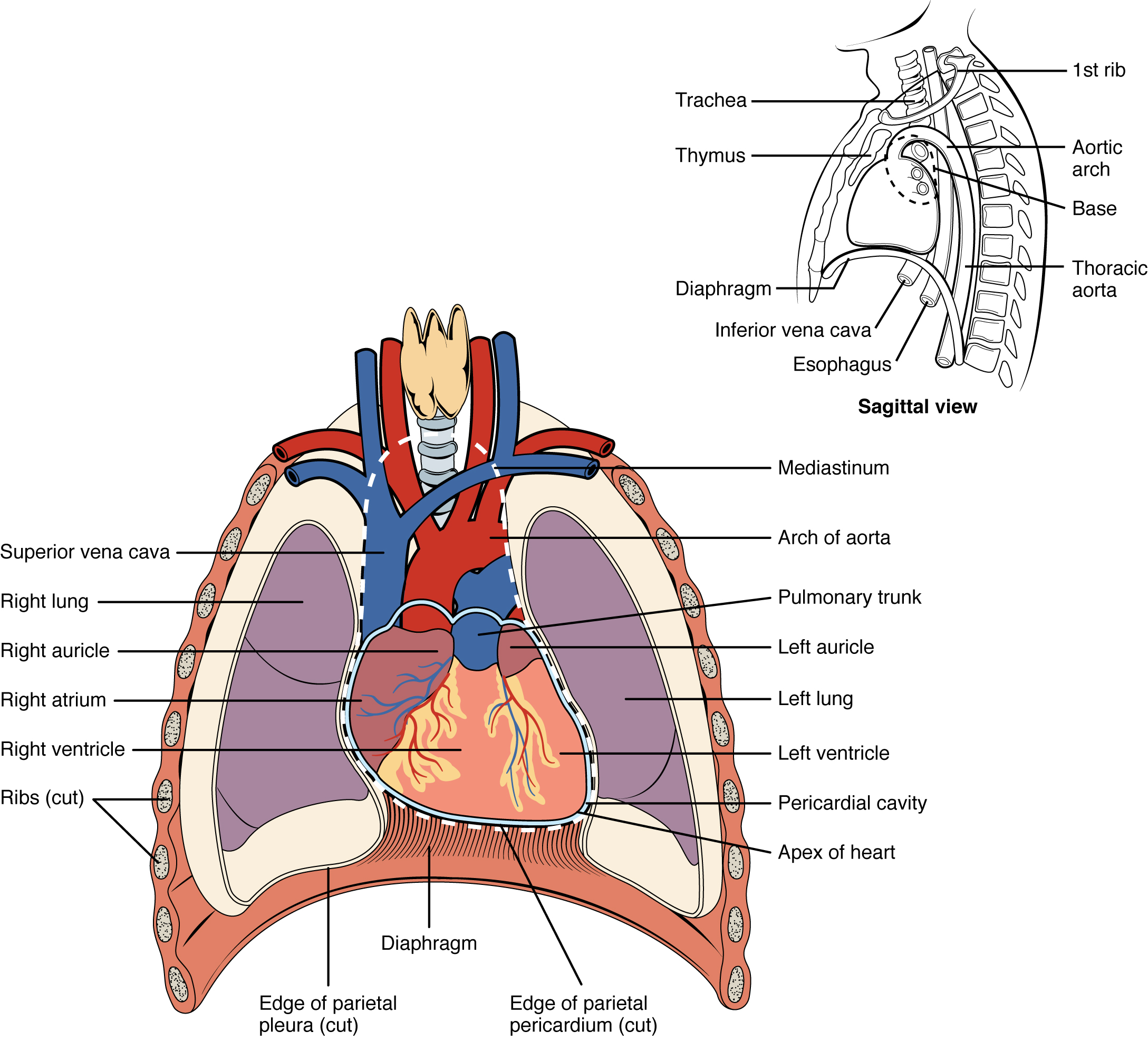 Location of heart in the mediastinum