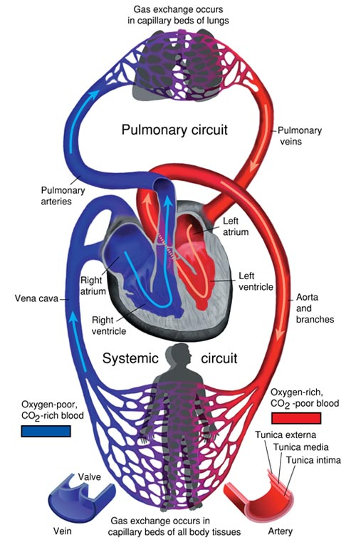 Heart Anatomy Size Location Coverings And Layers Anatomy