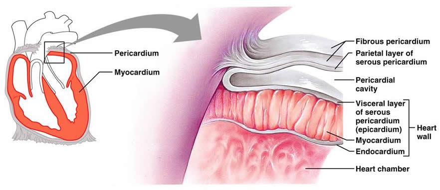 The pericardial layers and layers of the heart wall