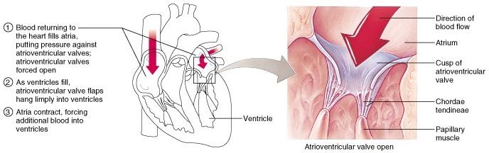 Atrioventricular valves (AV)