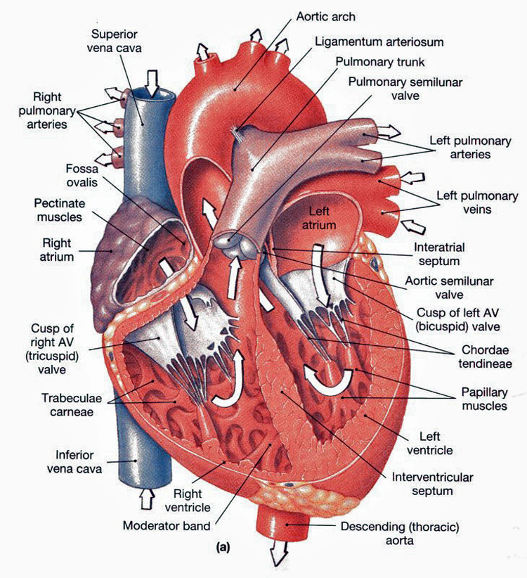 Heart Anatomy: chambers, valves and vessels : Anatomy
