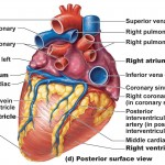 Heart Anatomy: chambers, valves and vessels
