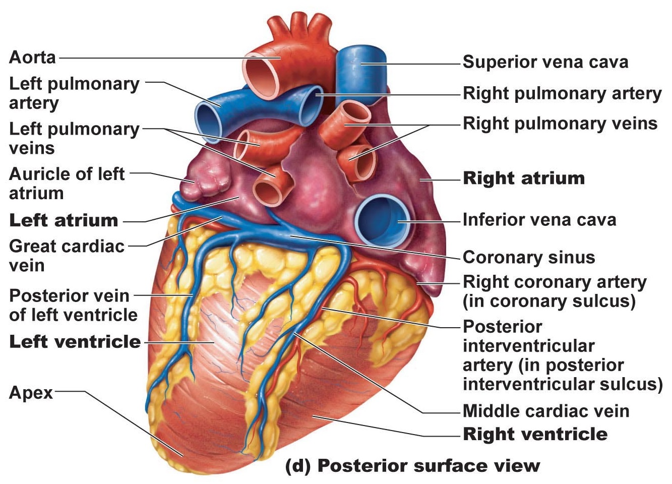 Heart anatomy chambers valves and vessels anatomy physiology image heart anatomy posterior surface view with labels ccuart Image collections