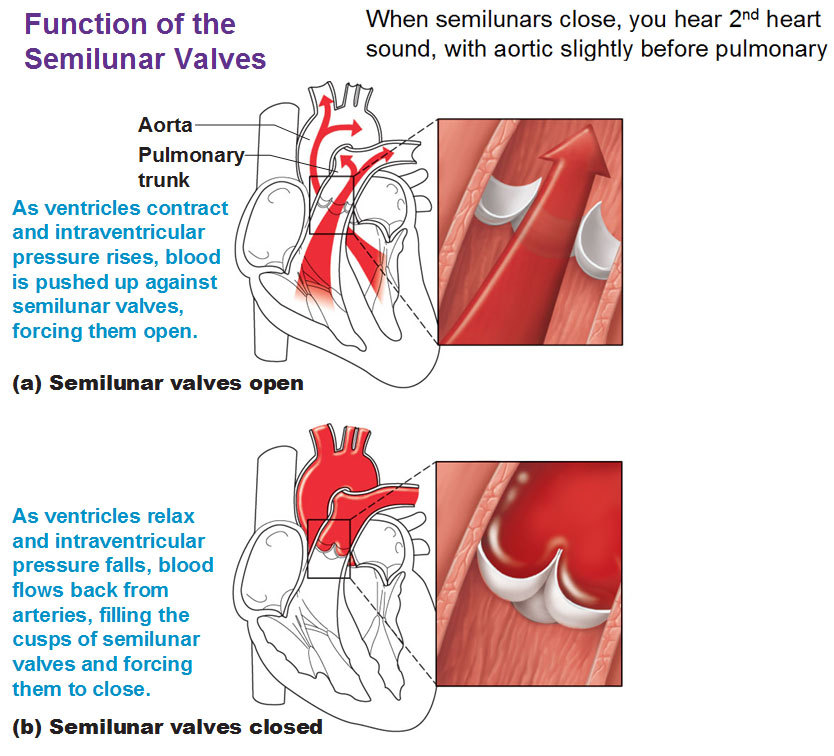 Image: the function of semilunar (SL) valves