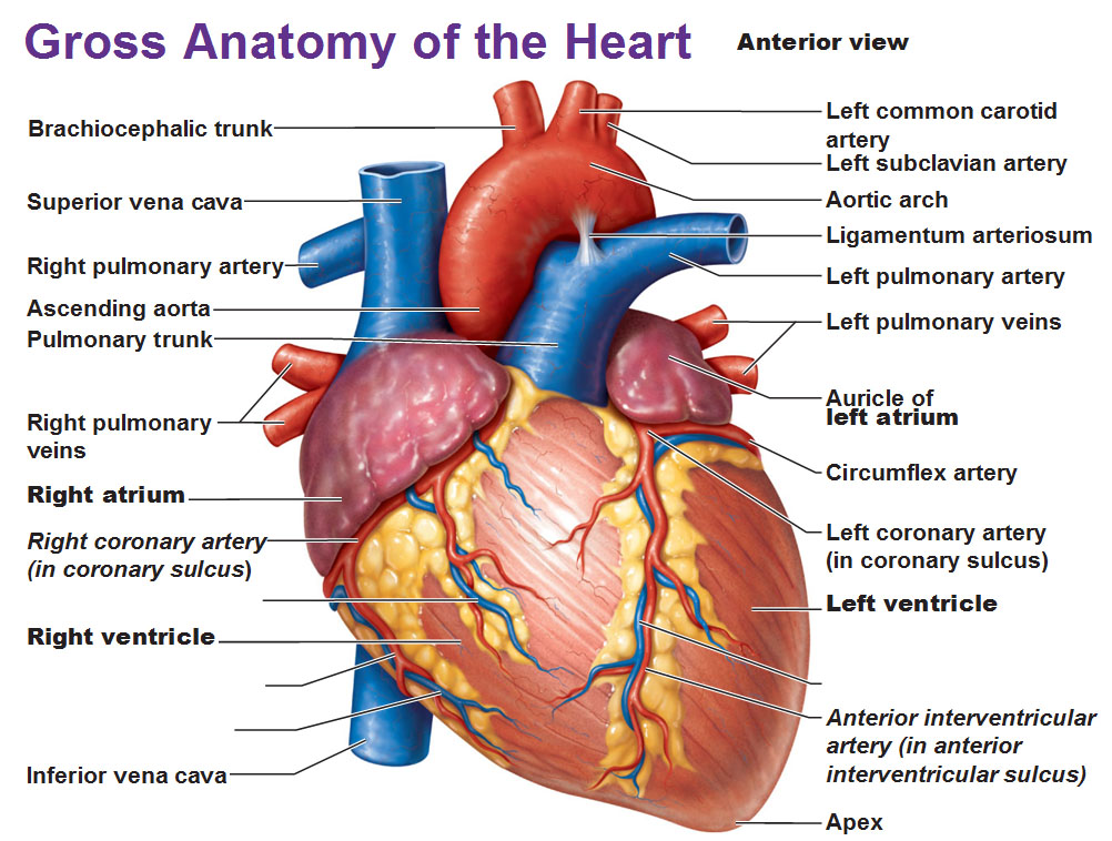 Gross Anatomy: Anterior view of the human heart with labels