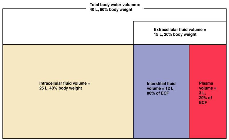 fluid compartments of the human body