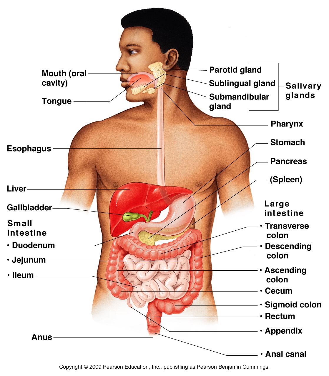 Alimentary canal and accessory digestive organs