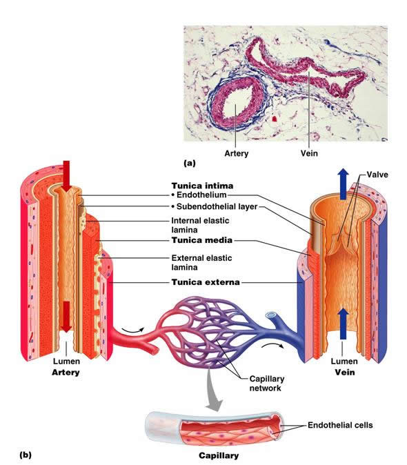 The Cardiovascular System Blood Vessels Anatomy Physiology