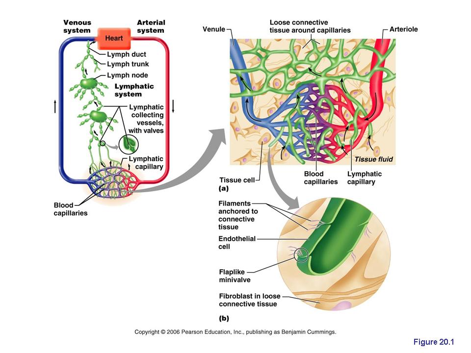 The Lymphatic System Anatomy Physiology