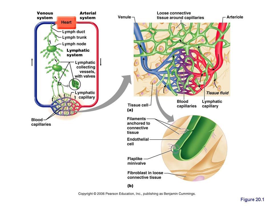Lymphatic vessels