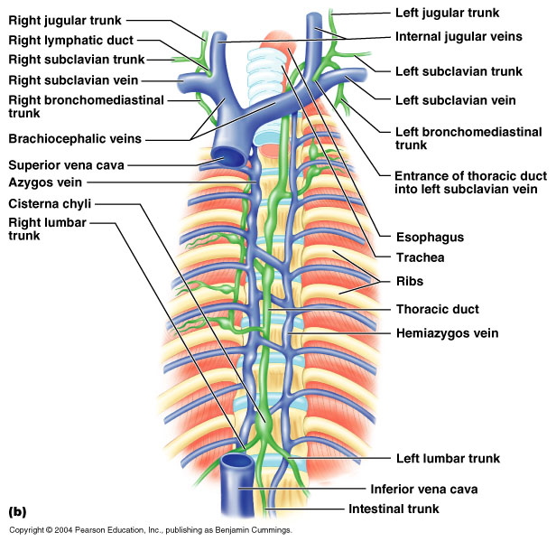 Major Lymphatic trunks