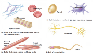 Cells are the basis of life. Some connect body parts and store nutrients, others fight disease and transport gases. Some cells gather information and control certain body functions, while specialized cells are used for reproduction.