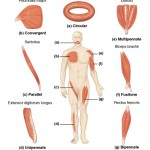 Muscle Mechanics: Fascicle Arrangement