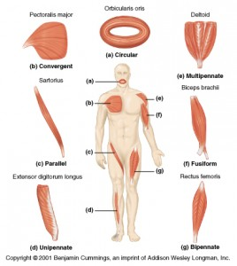 Patterns of fascicle arrangement in muscles