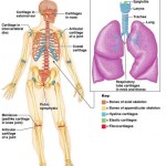 Skeletal Cartilages