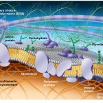 The Plasma Membrane: Structure